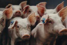 Belpork toruje drogę dla nowego belgijskiego standardu dobrostanu zwierząt